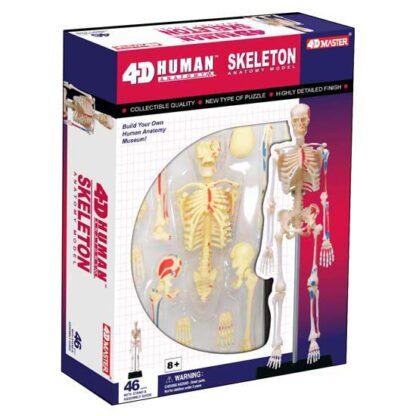 4D Anatoomiamudel Skelett