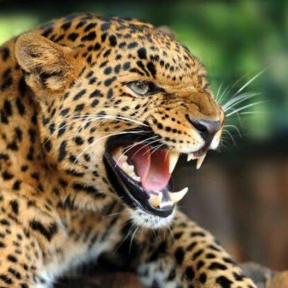 """3D magnet """"Leopard"""""""